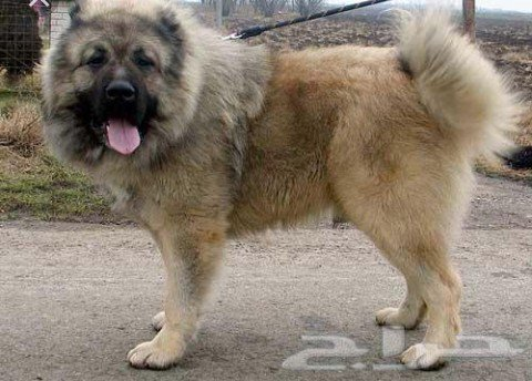 A MUST READ – Top 5 Dog Breeds That Are Best For Guarding Nigerian Homes (Photos) 7