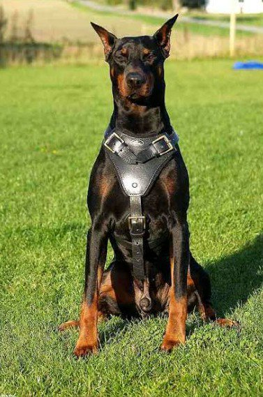 A MUST READ – Top 5 Dog Breeds That Are Best For Guarding Nigerian Homes (Photos) 11
