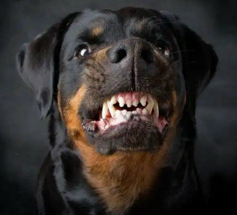 A MUST READ – Top 5 Dog Breeds That Are Best For Guarding Nigerian Homes (Photos) 3