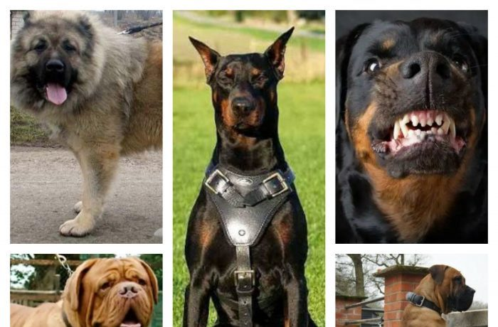 A MUST READ – Top 5 Dog Breeds That Are Best For Guarding Nigerian Homes (Photos) 1