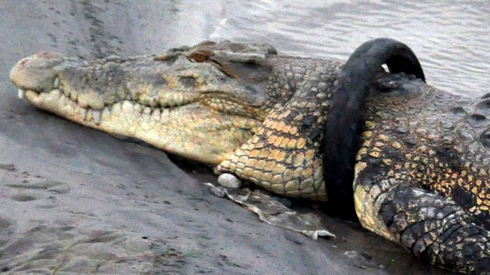 JOB ALERT!! Cash Reward For Somebody To Remove Tyre From This Crocodile's Neck (SEE PHOTOS) 1